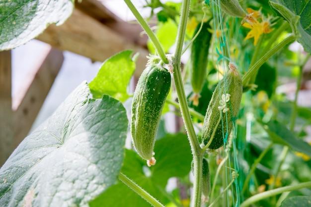 Récolte de concombre dans une petite serre domestique.