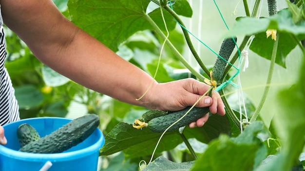 Récolte des concombres. l'homme ramasse des concombres dans la serre. collection agricole de concombres. concombres faits maison cultivés dans une serre