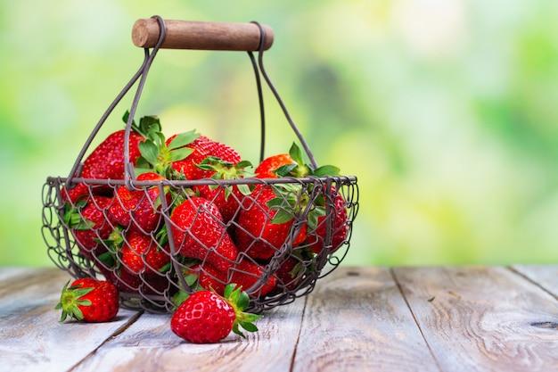 Récolte estivale de fraises biologiques fraîches
