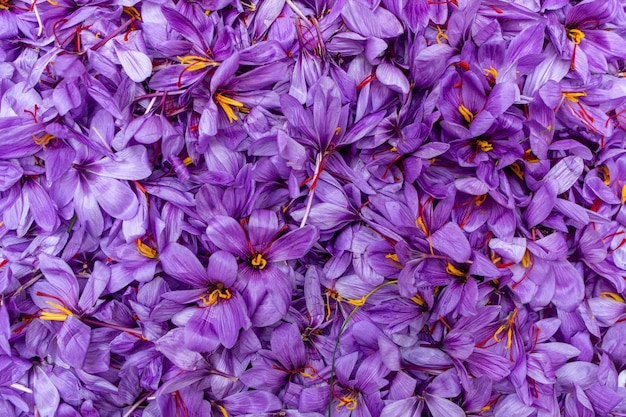 Récolte des fleurs de safran après la récolte.