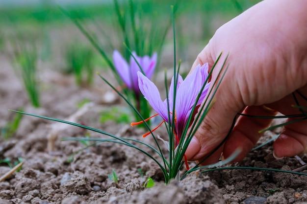 Récolte de fleurs de safran sur le terrain. l'épice la plus chère.