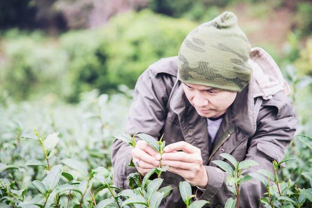 Récolte d'un homme / cueillette de feuilles de thé vert au champ de thé de haute terre à chiang mai, thaïlande