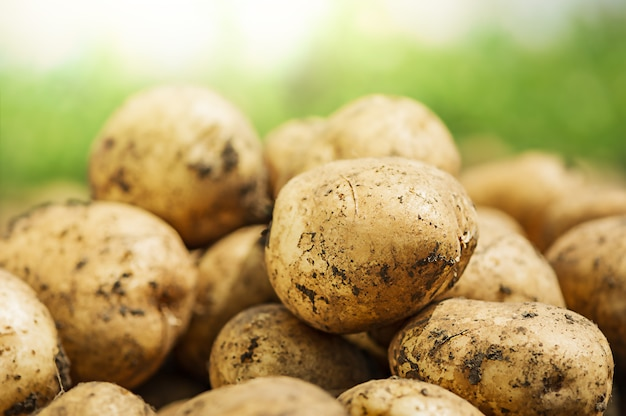 Récolte de jeunes pommes de terre fraîches non lavées, pommes de terre fraîches à la ferme