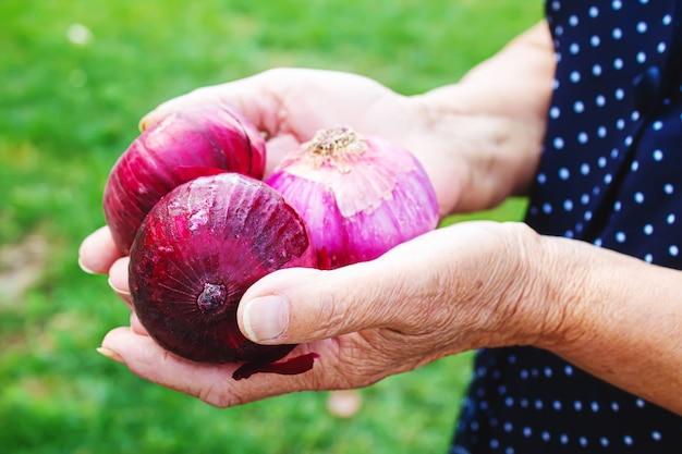 Récolte d'oignons dans les mains d'une femme . mise au point sélective.nature