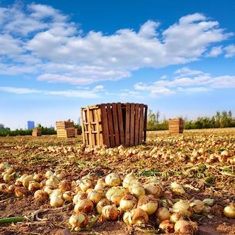 Récolte d'oignons à valence, espagne huerta