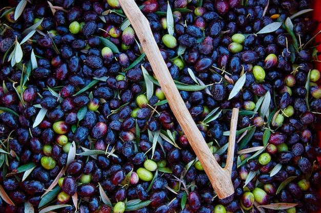 La récolte des olives et la cueillette des bâtons en méditerranée