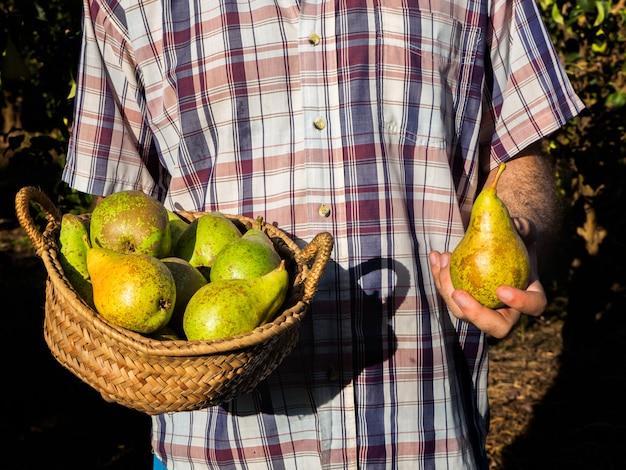 Récolte de poires à la campagne
