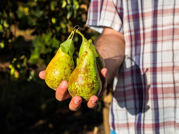 Récolte de poires chez un agriculteur