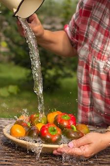 Récolte. poivrons et tomates bulgares sous l'eau courante.