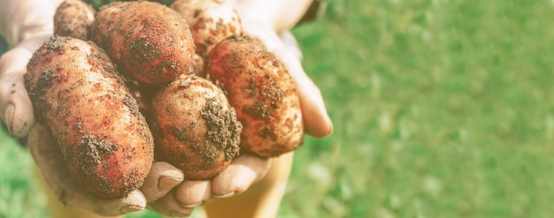 Récolte de pommes de terre dans la bannière des mains de la vieille femme
