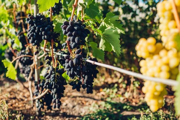 Récolte de raisins de table dans une ferme écologique, raisins bleus et verts suspendus dans un jardin
