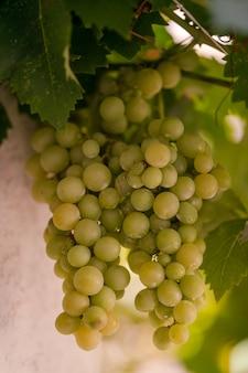 Récolte de raisins verts et bleus. champs vignobles mûrir raisins pour le vin