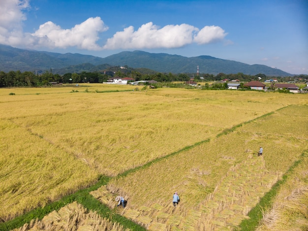 Récolte et récolte de plants de riz sec