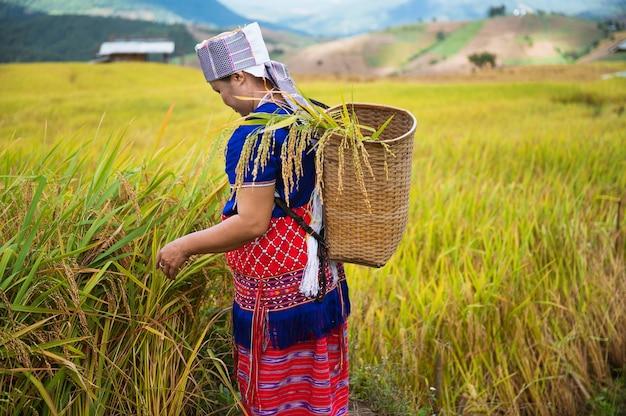 La récolte de riz des femmes agricultrices dans le nord de la thaïlande