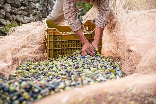 La récolte saisonnière des olives dans les pouilles, au sud de l'italie