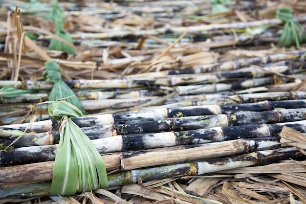 Récolter la canne à sucre en saison fraîche