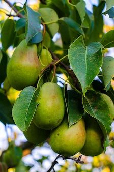 Récolter les poires dormant sur l'arbre dans le jardin en été