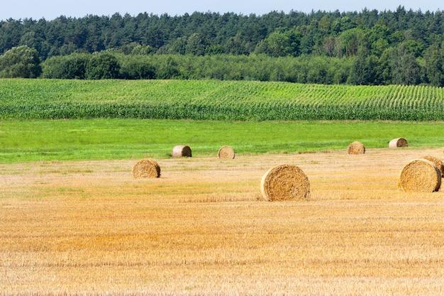 Récolter une récolte de céréales mûres dans le champ. la paille jaune après le biseau de blé est collectée en piles pour une utilisation en élevage