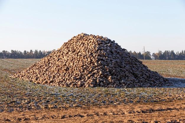 Récoltez les betteraves empilées en tas après la récolte en automne. champ agricole photo avec ciel bleu