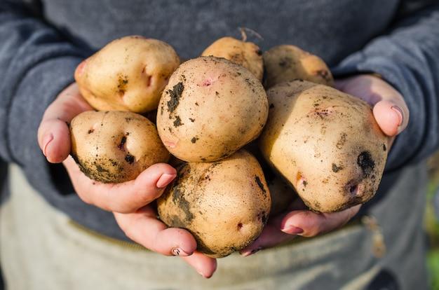 Récoltez des pommes de terre écologiques dans les mains de l'agriculteur.