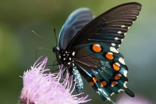 Recueillant le pollen papillon