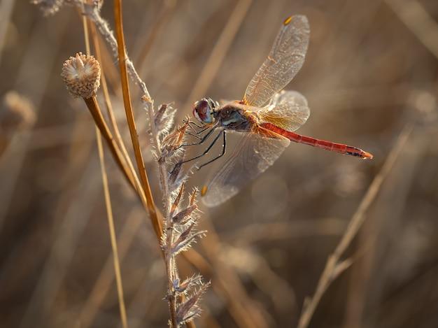 Red dragonfly dans leur environnement naturel.