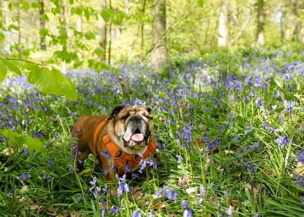 Red english british bulldog dog à la recherche, léchant sa langue et assis dans les jacinthes au printemps chaude journée ensoleillée