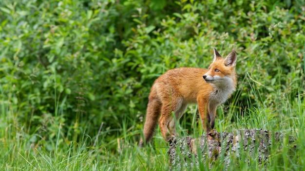 Red fox cub attentif marchant sur la souche d'arbre dans la forêt verte
