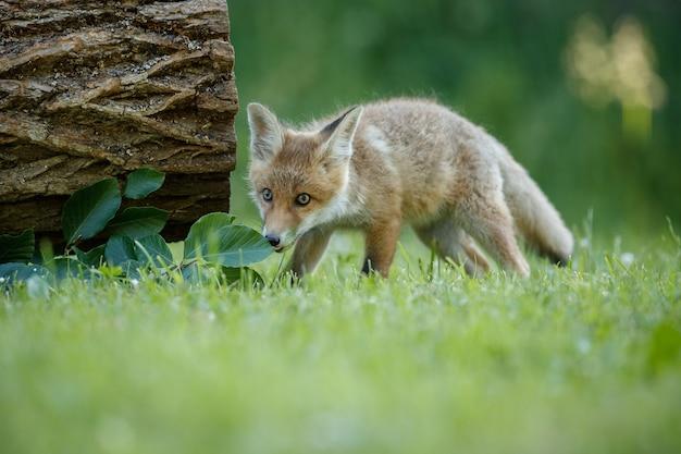 Red fox vulpes vulpes à forêt européenne