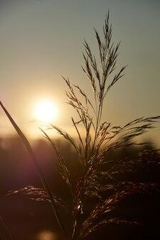 Reed au coucher du soleil