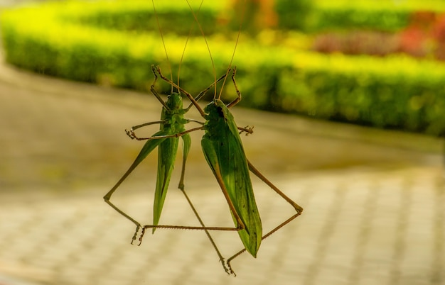 Reflet d'une sauterelle verte sur un miroir