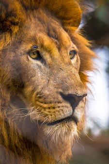Regard impressionnant sur la caméra d'un lion adulte. visite de l'important orphelinat de nairobi d'animaux non protégés ou blessés. kenya