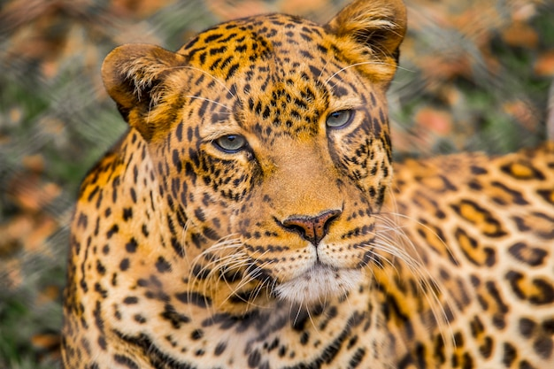 Regard d'un joli léopard dans l'herbe de l'orphelinat. visite de l'important orphelinat de nairobi d'animaux non protégés ou blessés. kenya