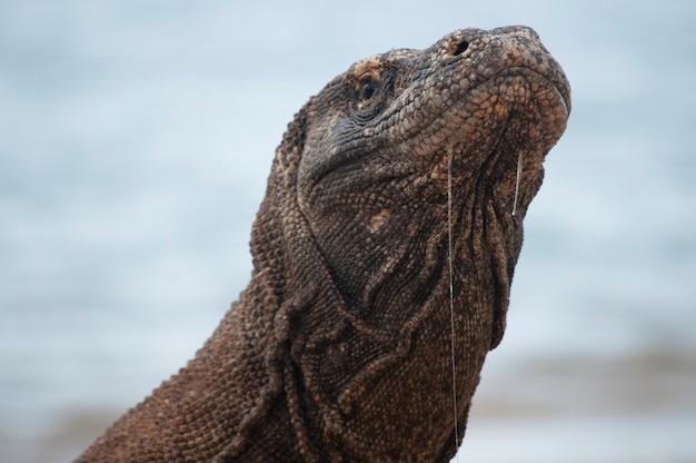 Regard de plus près du dragon de komodo qui ne vit que sur l'île de flores, en indonésie, dans un habitat protégé sur le parc national de komodo