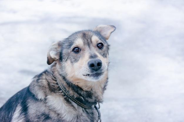 Le regard triste d'un chien de race à poil court de race pure sur une chaîne dans un collier en cuir noir.