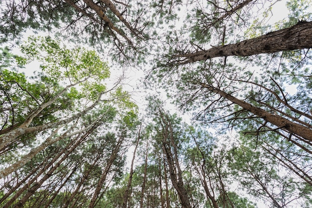 Regardant dans les cimes d'un fond de forêt de pins, concept de nature