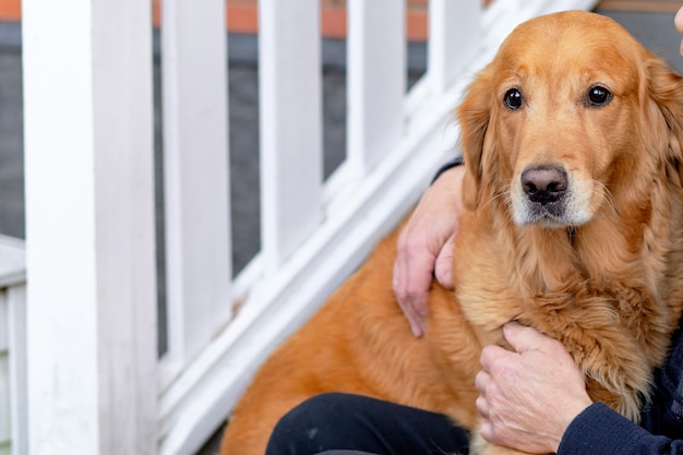 Regarde directement dans la caméra. chien triste de race golden retriever, retraité embrasse son labrador. copier l'espace