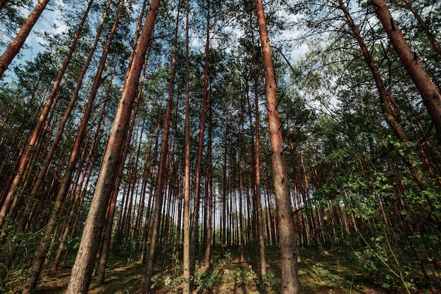 Regarder en l'air au printemps forêt de pins au canopée