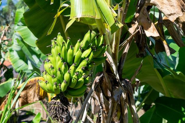 Régime de banane verte en plantation