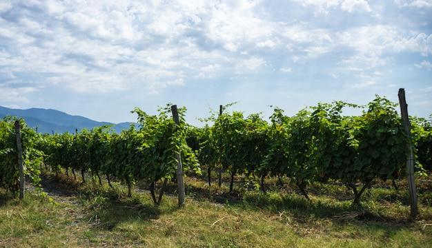 Région viticole géorgienne kakheti