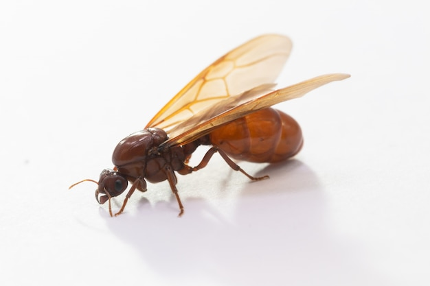Reines des fourmis souterraines