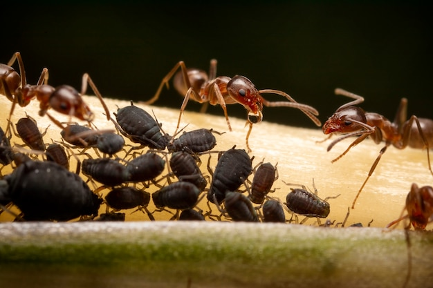 Relation symbiotique entre fourmis et pucerons noirs, ultra macrophotographie