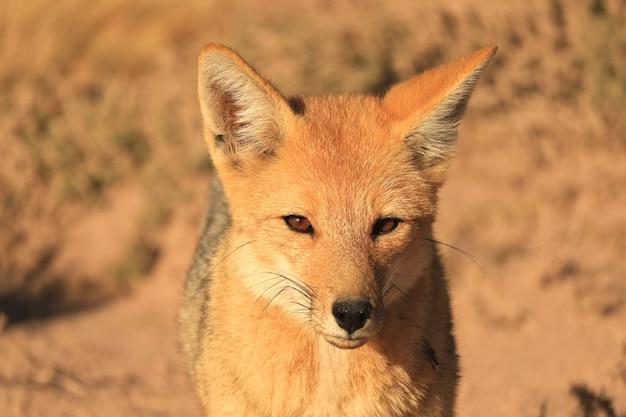 Renard andin ou zorro culpeo se détendre dans le champ de broussailles du désert de l'altiplano chilien, chili