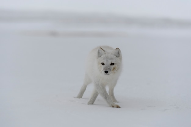 Renard arctique en hiver dans la toundra sibérienne