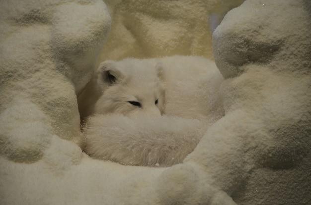 Renard arctique recroquevillé dans une grotte de neige.