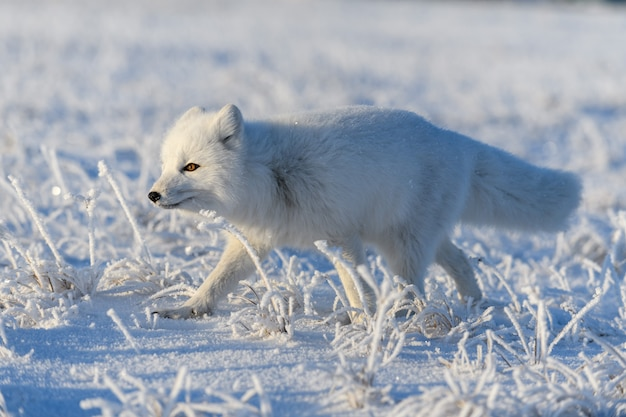 Renard arctique (vulpes lagopus) dans la toundra sauvage. renard arctique debout.