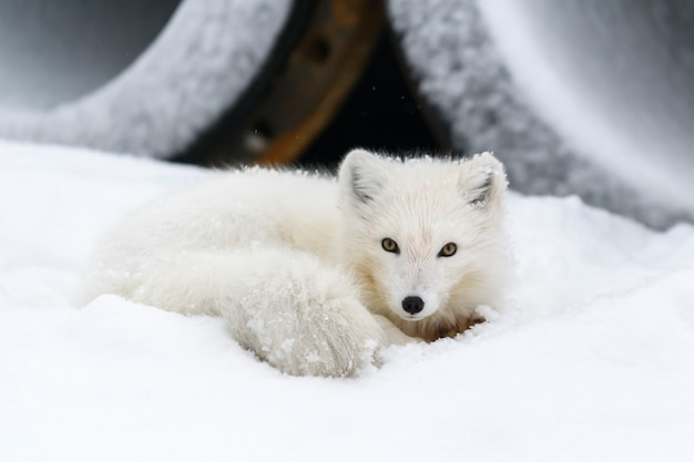 Le renard arctique (vulpes lagopus) dans la toundra sauvage
