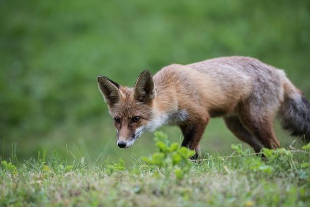Renard en chasse enfant de renard roux européen