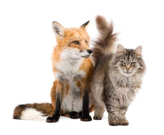 Un renard et un chat