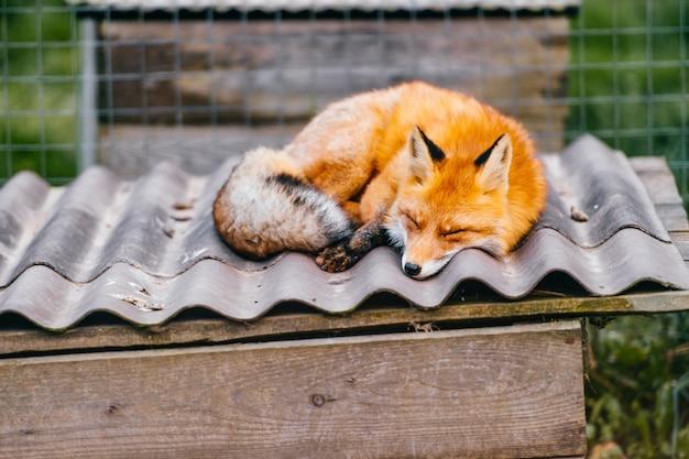 Renard dormant sur le toit d'un chenil